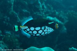 BD-130711-Maldives-0210-Balistoides-conspicillum-(Bloch---Schneider.-1801)-[Clown-triggerfish.-Leopardtryckarfisk].jpg